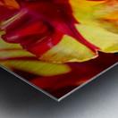 Tulip in Fringed Dress Metal print