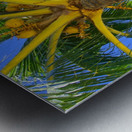 Palm Tree and Coconuts Metal print