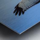 Northern Harrier in Flight Metal print