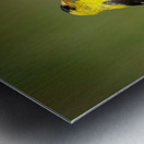 Goldfinch Male Metal print