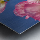 Shirley Poppies (Papaver Rhoeas), Oregon, Usa Metal print