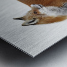 Fox in the snow; Montreal, Quebec, Canada Metal print