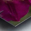 Red tulip, Andre Rieu (tulipa), New York Botanical Garden; New York City, New York, United States of America Metal print
