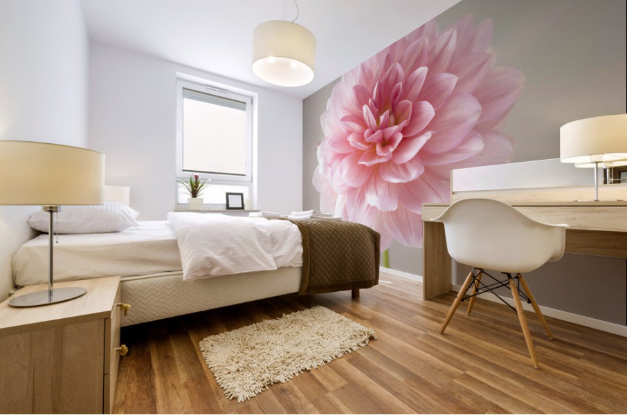 Dahlia flower on colored background Mural print
