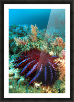 Thailand, Reef Scene With Crown-Of-Thorns Starfish (Acanthaster Planci). Picture Frame print