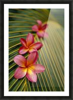 Close-Up Three Pink Plumeria Flowers On Coconut Palm Leaf Selective Focus Picture Frame print