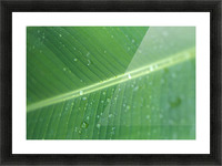 Close-Up Detail Green Banana Leaf With Droplets Of Water, Dew Picture Frame print