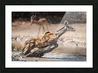 Kudu jump Picture Frame print