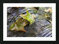 Maple leaves in autumn as they lay across a rotting log in a forest;British columbia canada Picture Frame print