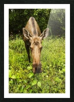 Cow moose (alces alces), close up with a wide angle lense, south-central Alaska; Alaska, United States of America Picture Frame print