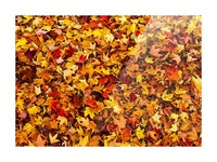 Autumn leaves on the ground; Iron Hill, Quebec, Canada Picture Frame print