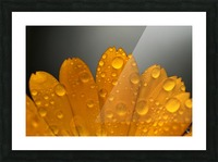 Close up of water droplets on orange flower petals; South Shields, Tyne and Wear, England Picture Frame print