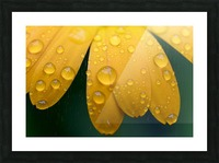 Close up of water droplets on yellow flower petals; South Shields, Tyne and Wear, England Picture Frame print