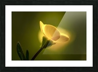 A yellow flower glowing in sunlight; South Shields, Tyne and Wear, England Picture Frame print
