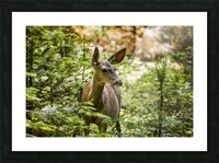 Mule deer (Odocoileus hemionus), Sequoia National Park; California, United States of America Picture Frame print