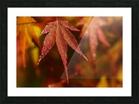 Japanese Maple (Acer palmatum) turning red in the autumn; Astoria, Oregon, United States of America Picture Frame print
