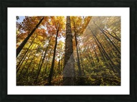 Looking up at the colourful canopy of leaves of Algonquin Park; Ontario, Canada Picture Frame print