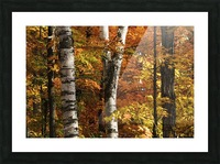The colourful leaves and birch tree trunks in Algonquin Park; Ontario, Canada Picture Frame print