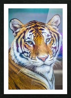 Portrait of Bengal Tiger (panthera tigris tigris) endangered species, captive; Chippewa Falls, Wisconsin, United States of America Picture Frame print