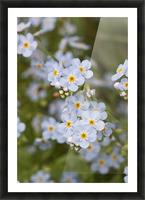 Close Up Of Forget Me Not, Alaska's State Flower, Girdwood, Southcentral Alaska, Summer Picture Frame print