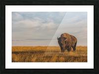 Bison (bison bison), Grasslands National Park; Saskatchewan, Canada Picture Frame print