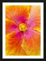 Close-up macro shot of a beautiful orange, pink and yellow Hibiscus flower; Honolulu, Oahu, Hawaii, United States of America Picture Frame print
