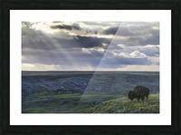 A lone bison (bison bison) grazes on the buttes of Grasslands National Park; Saskatchewan, Canada Picture Frame print