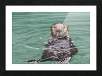 Close-up of a Sea Otter (Enhydra lutris) floating on it's back, looking towards the camera, South-central Alaska; Seward, Alaska, United States of America Picture Frame print