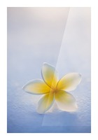 Close-up of a single beautiful yellow Plumeria flower (Apocynaceae) in soft focus; Honolulu, Oahu, Hawaii, United States of America Picture Frame print