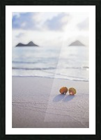 A set of two rare Hawaiian Sunrise Scallop Seashells, also known as Pecten Langfordi, in the sand at Lanikai beach, with Mokulua islands in background; Honolulu, Oahu, Hawaii, United States of America Picture Frame print