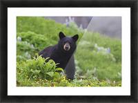 Black Bear Standing In Alpine Vegetation, Harding Icefield Trail, Kenai Fjords National Park, Near Seward, Southcentral Alaska, Summer Picture Frame print