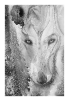 Illustration of a wolf and a mottled background Picture Frame print