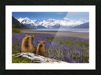 COMPOSITE: Grizzly Sow & cub sit in lupine along Seward Highway, Turnagain Arm, Southcentral Alaska Picture Frame print