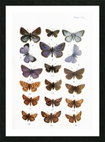 Different types of butterflies. Illustration by W.S.Furneaux. From the book Butterflies, Moths and Other Insects and Creatures of the Countryside. Published 1927. Picture Frame print