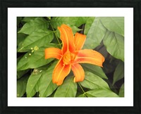 Orange Lilly 1 Picture Frame print