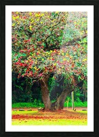 big tree with green yellow and red leaves Picture Frame print