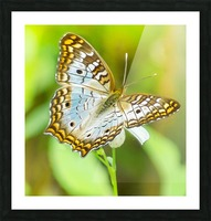 Psychedelic White Peacock Butterfly Picture Frame print