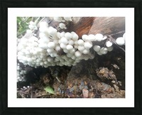 white mushrooms Picture Frame print