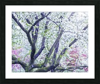 Cherry tree flowers Picture Frame print