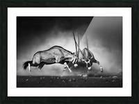 Gemsbok fight Picture Frame print