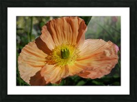 A Poppy Flower Growing Picture Frame print