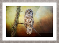 Barred Owl at sunrise with Textures Picture Frame print
