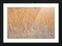 Golden Field Picture Frame print