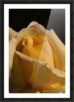 Yellow Rose Close up Single Black Background A010601_1406644 Picture Frame print