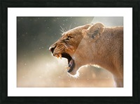 Lioness in the rain Picture Frame print