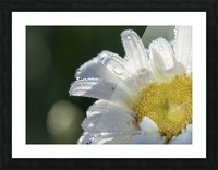 Blancheur de la rosee Picture Frame print