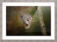 Barred Owl Eyeing Prey. Picture Frame print