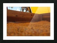Dried Corn 02 Picture Frame print