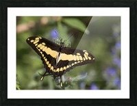King swallowtail butterfly Picture Frame print