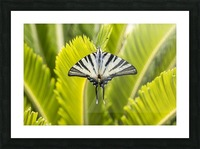 Scarce swallowtail butterfly Picture Frame print